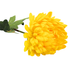 Chryzantema pojedynka żółta 80 cm